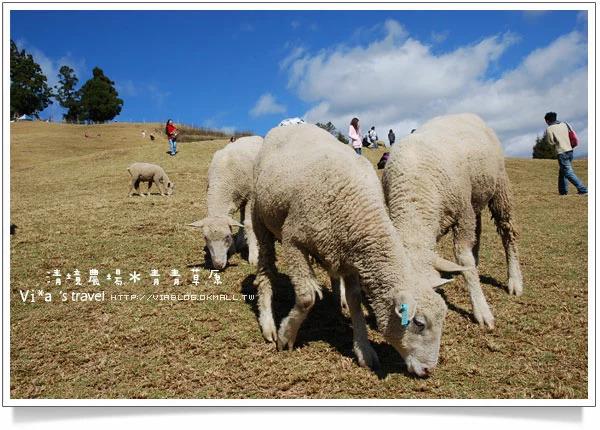 【清境一日遊】清境農場青青草原區~可愛綿羊秀篇 @Via's旅行札記-旅遊美食部落格