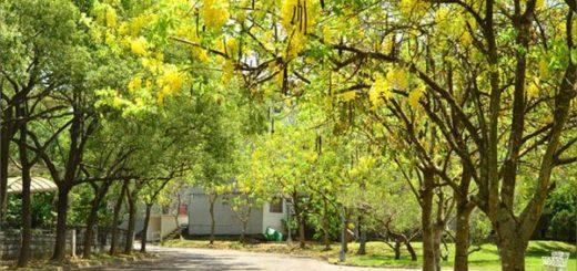 【南投阿勃勒】中興新村阿勃勒三大賞點公開~夏天是屬於黃色的繽紛世界! @Via's旅行札記-旅遊美食部落格