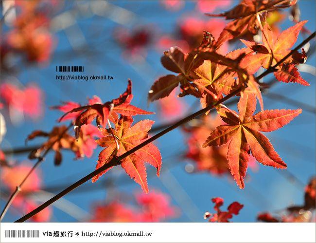 【清境遊記】清境楓葉初紅~via今年秋天的第一抹楓紅! @Via's旅行札記-旅遊美食部落格