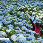 即時熱門文章:【沖繩繡球花】季節限定!饒平名紫陽花園(よへなあじさい園)~夢幻!綻放整座小山頭的紫色花海!