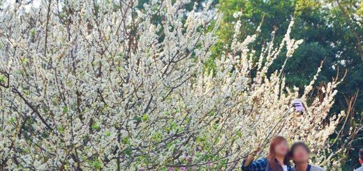 【花壇虎山岩李花】虎山岩遊憩區-山丘上李花開滿雪白片片賞花趣 @Via's旅行札記-旅遊美食部落格