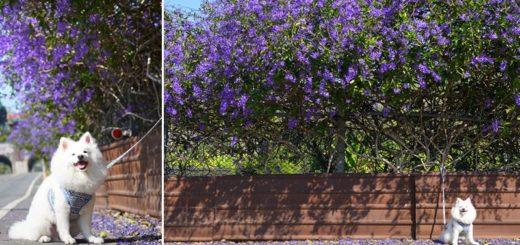 【中寮景點】671茶花園錫葉藤盛開中~春季限定!浪漫的紫色花藤來報到,爆紅秘境看這篇! @Via's旅行札記-旅遊美食部落格