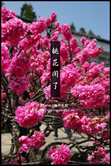 【梅峰農場桃花緣】最美的桃花隧道,就在南投梅峰這裡~(上) @Via's旅行札記-旅遊美食部落格