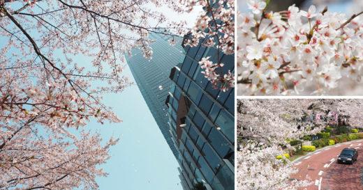 【東京櫻花季】六本木櫻花景點推薦~必去!東京中城TOKYO MIDTOWN超美櫻花天橋,巧遇櫻吹雪美炸了! @Via's旅行札記-旅遊美食部落格