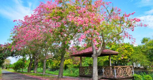 【彰化景點】粉紅美人樹~彰化北斗河濱公園,浪漫粉紅色河道宛若出國般的美景準備盛開囉! @Via's旅行札記-旅遊美食部落格