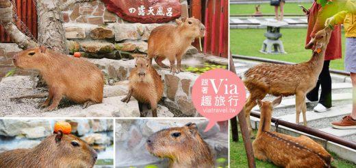 【宜蘭景點】張美阿嬤農場~水豚、梅花鹿餵食體驗太療癒!露天風呂水豚這裡拍! @Via's旅行札記-旅遊美食部落格